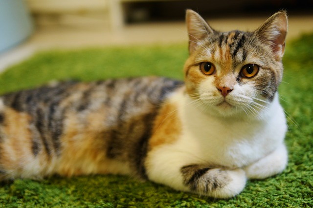 What is the difference between a Tortoiseshell cat and a calico