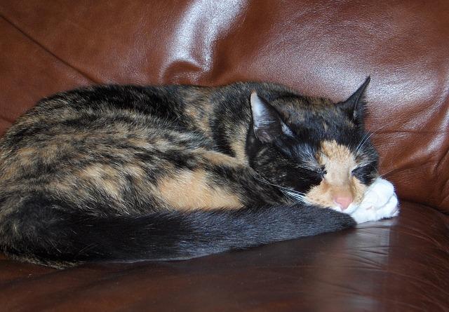Tortoiseshell cat sleeping