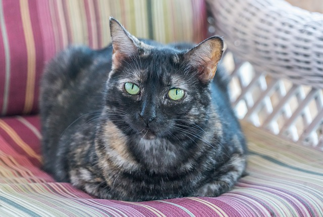 How long do Tortoiseshell cats live