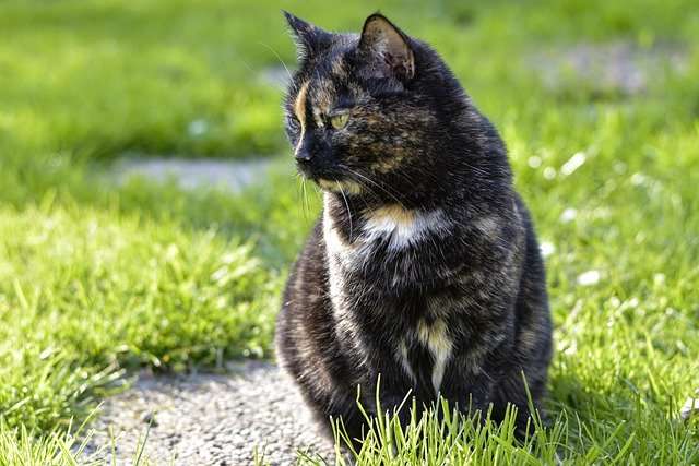 How big do tortoiseshell cats get?